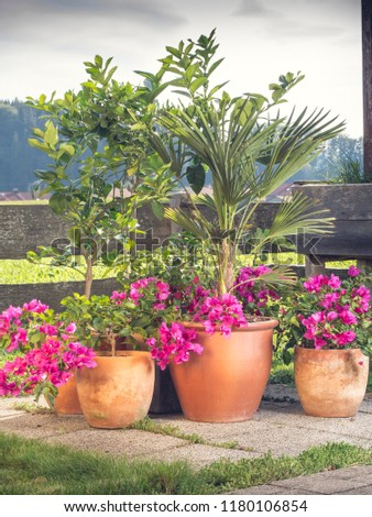 image shows container gardening ideas - best plants for containers like Bougainvillea, citrus, palm or fig tree