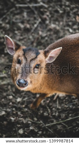 Image shows picture of a Muntjac deer looking up at the camera.