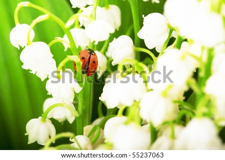 Images of the ladybird, which sits on lily of the valley and green leaves