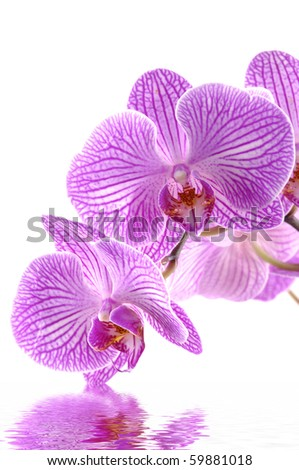 Images of the luxurious orchids on white background