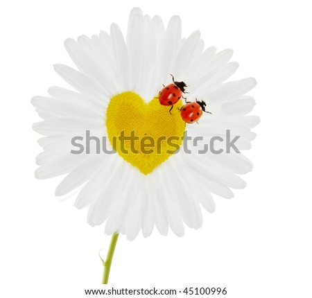 Images of the two ladybirds on chamomile in the form of heart