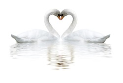 images of two white swans on lake