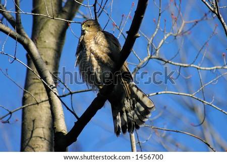 Immature Accipiter Cooperii Cooper's Hawk