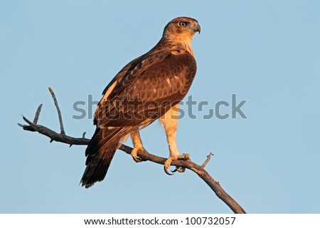 Immature African hawk eagle (Aquila spilogaster) perched on a branch, South Africa