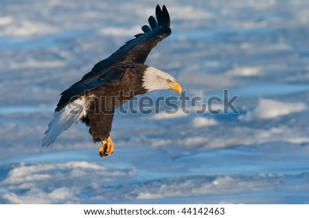 immature american bald eagle landing on ice floe in alaska waters