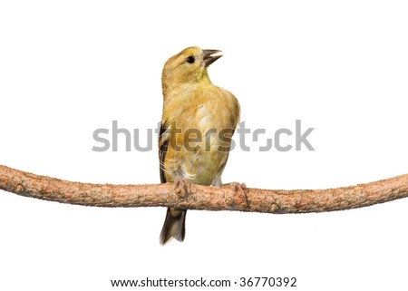 immature american goldfinch calls out while perched on a branch. white background