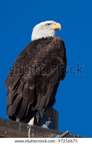 Immature Bald Eagle (Haliaeetus leucocephalus).  Bald Eagle is a bird of prey found in North America.