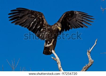 Immature Bald Eagle (Haliaeetus leucocephalus).  Bald Eagle is a bird of prey found in North America. - stock photo
