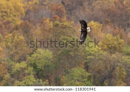 Immature Bald Eagle in flight against Autumn foliage background.