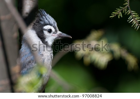 Immature Blue Jay in Tree