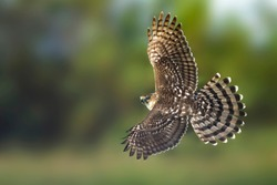 Immature Cooper's Hawk (Accipiter cooperii) in flight over Chambers County, Texas, USA. Seen from the side, flying against a green natural background. Showing barred tail feathers.