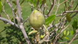 Immature fruit of a fig tree, Egypt, Sharm El Sheikh, Nabq Bay