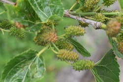 Immature fruits of common mulberry (Morus alba)