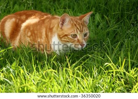 Immature ginger kitten stalking garden insect