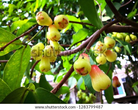 Wax apple tree Images and Stock Photos - Page: 2 - Avopix com