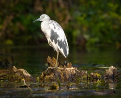 Immature Little Blue Heron on the Silver River in Florida