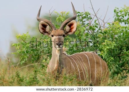 Immature male Kudu antelope (Tragelaphus strepsiceros), Kruger National Park, South Africa - stock photo