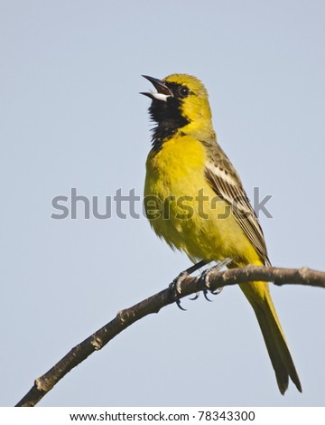 Immature male orchard oriole singing in a tree