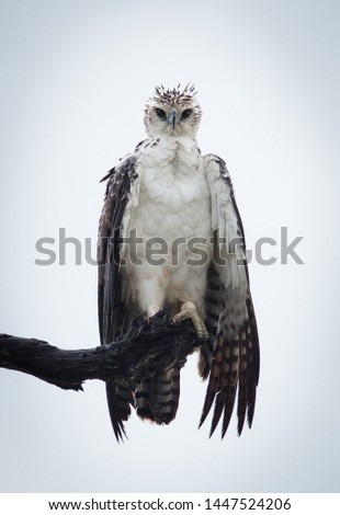 Immature Martial Eagle with fierce look  #1447524206