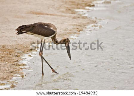 Immature Saddle-billed stork; Ephippiorhynchus senegalensis; South Africa - stock photo
