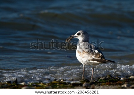 Immature, second-winter Ring-billed Gull has caught a meal on Florida\'s Atlantic Coast on Florida\'s Atlantic Coast