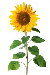 immature sunflower isolated on a white background