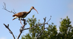 Immature white ibis (Eudocimus albus) in the Everglades, Florida
