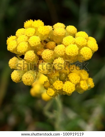 Immortelle aka Curry Plant and Dwarf Everlast