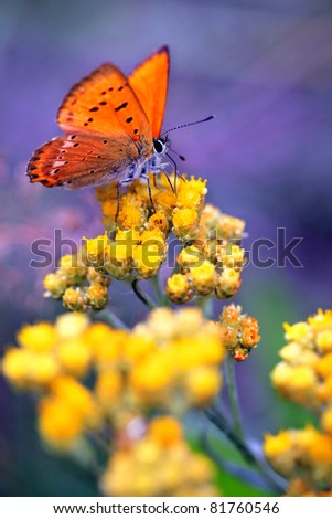 Immortelle  - Helichrysum arenarium is also known as dwarf everlast with red butterfly