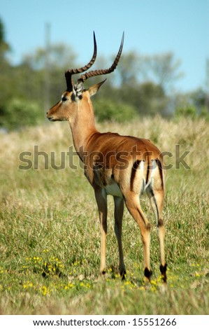 Impala adult male antelope with lyre-shaped horns watching other antelopes and wildlife in a game park in South Africa