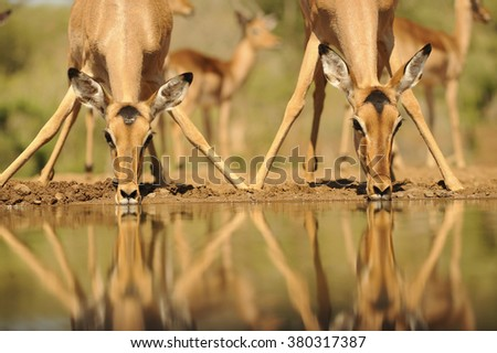 Impala (aepyceros melampus) reflected in waterhole while drinking. Zululand, South Africa