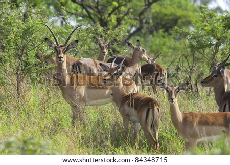 Impala Antelope (Aepyceros Melampus) Hluhluwe-Umfolozi Game Reserve, located 280 km north of Durban, is the oldest proclaimed park in Africa.