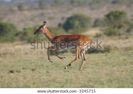 Impala antelope, Aepyceros melampus, on the run