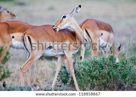 Impala Antelope - Maasai Mara National Park in Kenya, Africa
