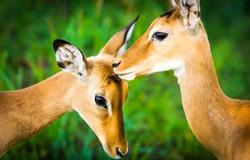 Impala antelope nature scene. Young female impala antelopes. Impala antelopes portrait