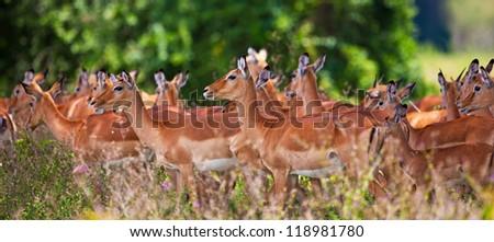 Impala antelopes in Lake Nakuru National Park in Kenya, Africa. The impala (Aepyceros melampus) is a medium-sized African antelope.