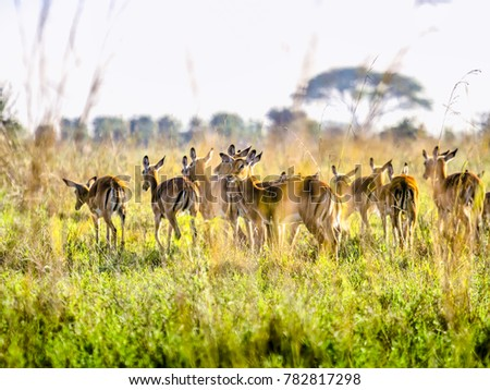Impala antelopes watchfully standing on African savanna, Nairobi National Park, Kenya