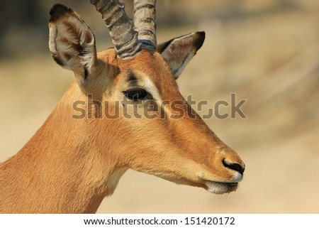 Impala, Common - Wildlife Background from Africa - An old warrior of red stares into the distance