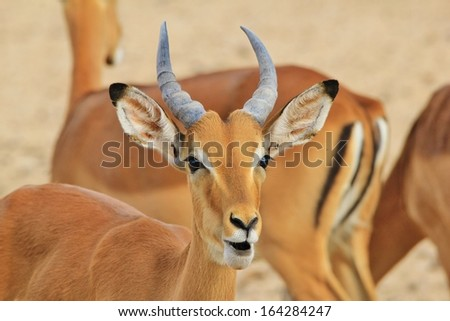 Impala, Common - Wildlife Background from Africa - Funny Nature and expressions of pleasure and joy