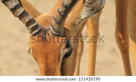 Impala, Common - Wildlife Background from Africa - Wide-screen image of an old red ram