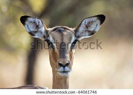 Impala doe with back-lighting portrait with flies