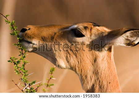 impala eating from branch