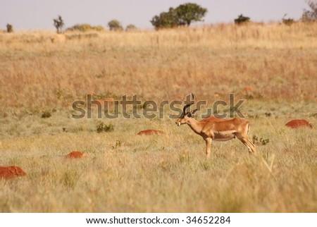 Impala feeding on grass land.