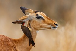 Impala female standing on the savanna with red billed oxpecker on her head  in Kruger National Park in South Africa