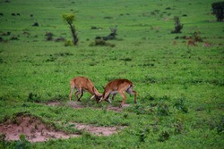 Impala fight in the green savannah in uganda