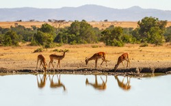 Impala group (Aepyceros melampus) reflected in water as they drink from watering hole in Ol Pejeta Conservancy, Kenya, Africa. African savanna landscape on happy safari vacation
