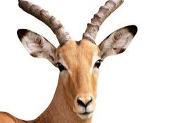 Impala had male a white background