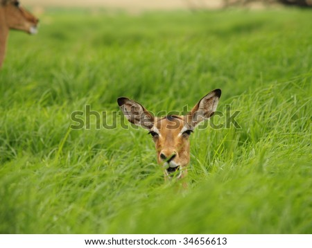 Impala head sticking out of green grass.