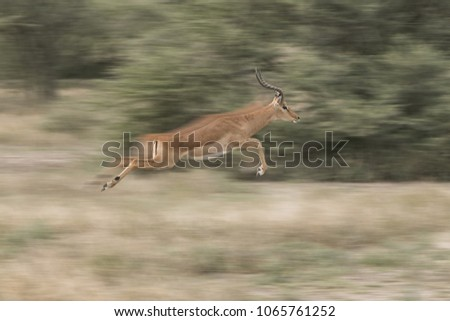 Impala In A Blur  - An impala ram makes a quick escape by leaping 25 feet in a blur. Ndutu, Arusha, Ngorongoro Conservation Area, Tanzania, Africe. #1065761252