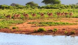 Impala in savannah, Tsavo East National Park, Kenya